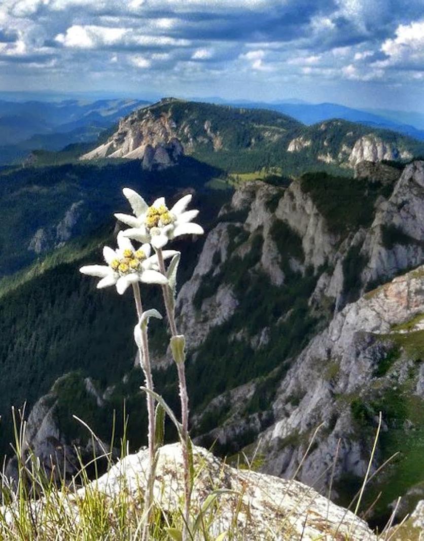 Les pouvoirs de l'edelweiss par visoanska