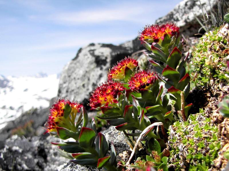 Rhodiola crenulata Visoanska