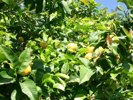 Citronniers des Iles Salines