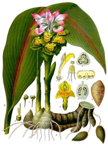 Curcuma botanique